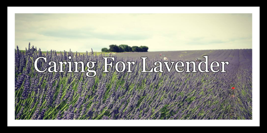 Caring For Lavender