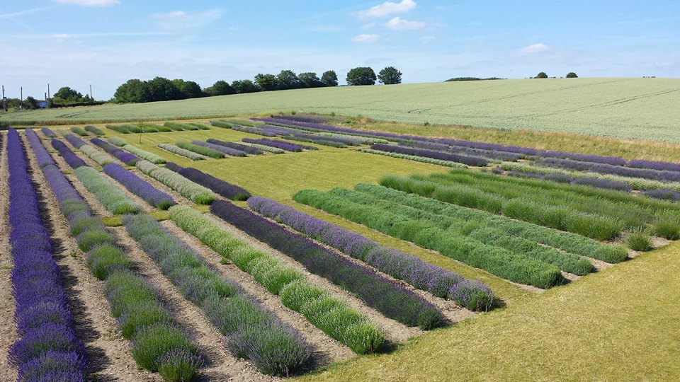 Varieties of Lavender