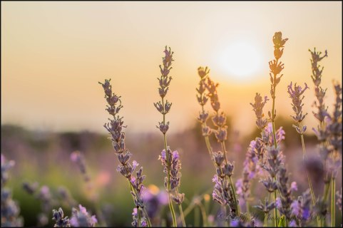 "Letty Huckerby ""Sunset Shining Through. Gives the lavender a whole new light"" - 25th July 2017"