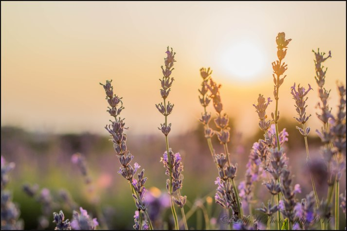 """Letty Huckerby """"Sunset Shining Through. Gives the lavender a whole new light"""" - 25th July 2017"""