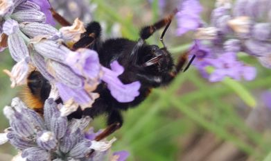 "Vicky Weathersbee ""A Lavender and Bee Fanatic"" - 2nd August 2017"