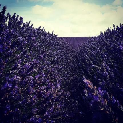 Deep in the Lavender