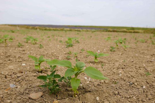 Sunflower Seedling - 17/07/19