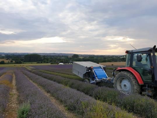 Lavender Harvesting - 06/08/19